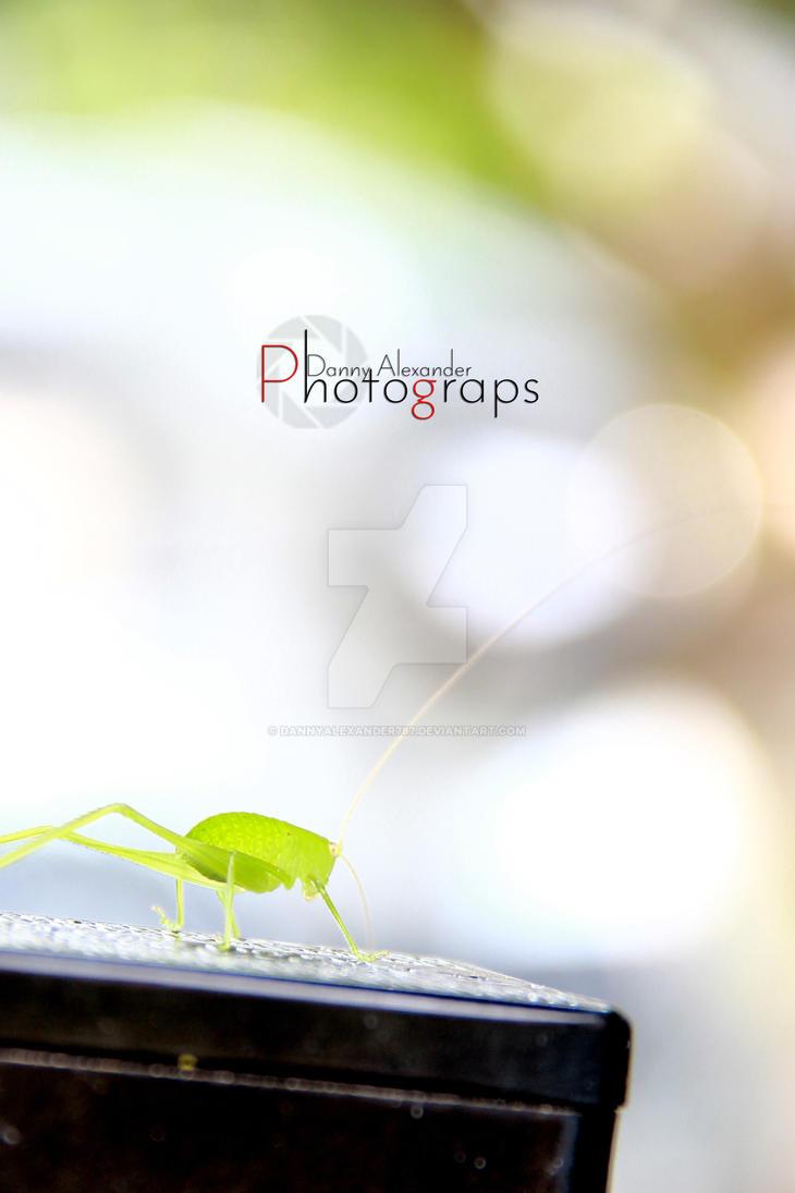 Belalang/grasshopper by DannyAlexander787