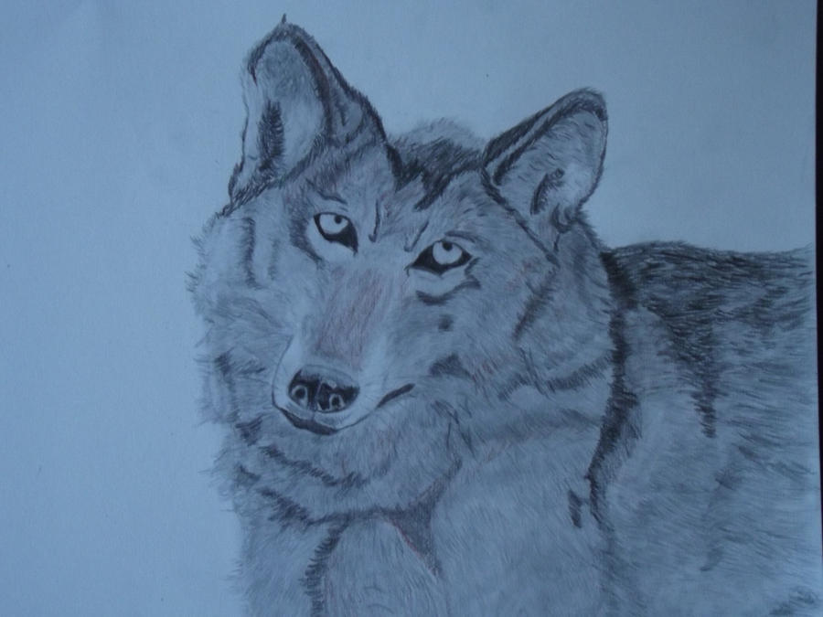 Wolf Drawing by PaulDS89