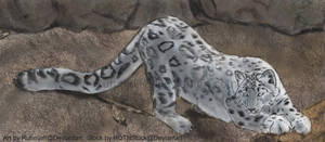 Snow Leopard - Daily Practice by Ruhmjolf