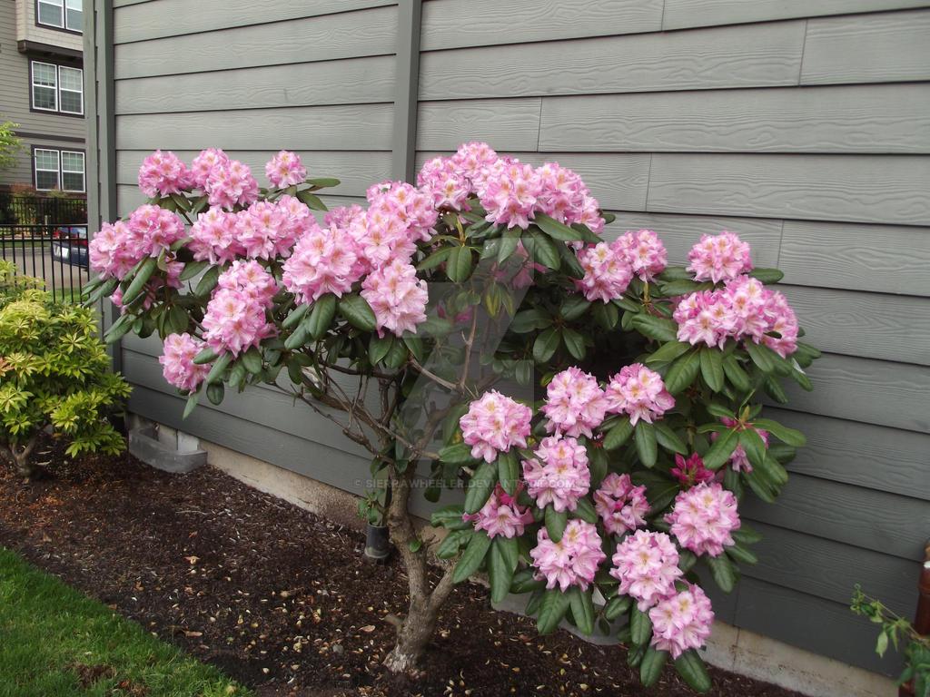 Pink Flowered Bush Images Flower Decoration Ideas