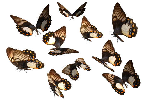 Orchard Swallow Tail Butterfly by madetobeunique