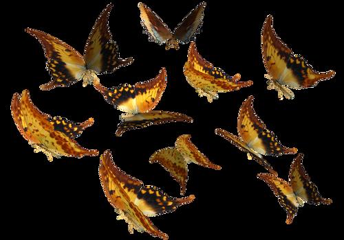 Large Swallowtail Butterflies