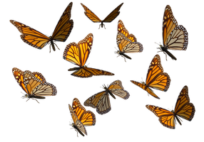 Monarch Butterfly Clipart PNG by madetobeunique