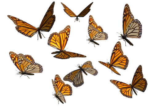 Monarch Butterfly Clipart PNG