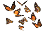 LG Lace Wing Butterfly clipart