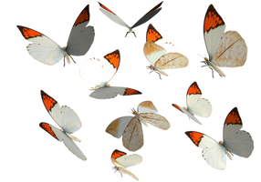 Great Orange Tip Butterfly PNG by madetobeunique