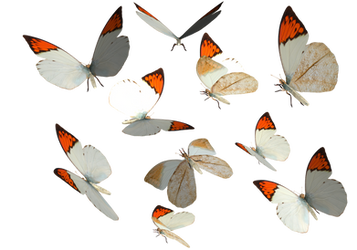 Great Orange Tip Butterfly PNG