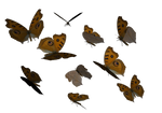 Argus Butterfly clipart PNG
