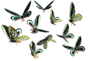 Queen Alexander Birdwing PNG