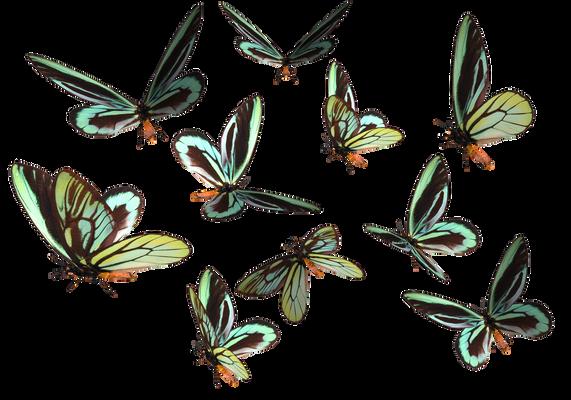Queen Alexander Birdwing PNG