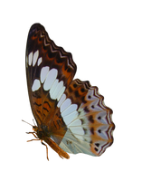 Queen Alexander Butterfly by madetobeunique