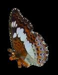 Queen Alexander Butterfly