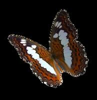 Alexander Birdwing Butterfly by madetobeunique