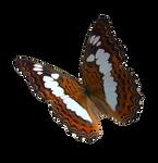 Alexander Birdwing Butterfly