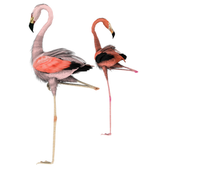 flamingos together stock pngs by madetobeunique