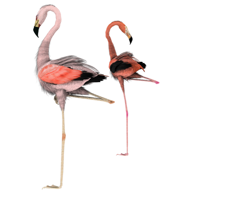 flamingos together stock pngs