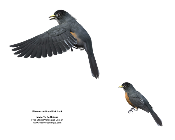American Robins Free Stock png