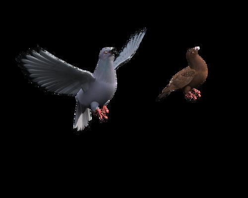 rock dove bird flying stock