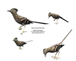 Free Roadrunner Bird Stock