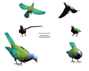Wompoo Fruit Dove Pecking png by madetobeunique