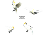 Flying Crested Cockatoo Bird