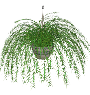 Hanging Fern stock plant