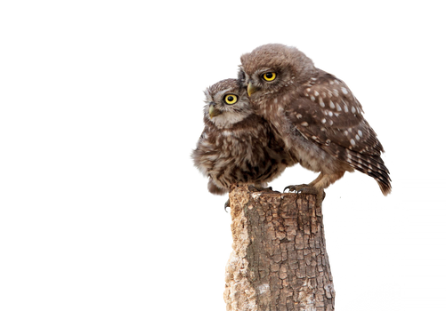Png Little owl