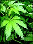 weed..