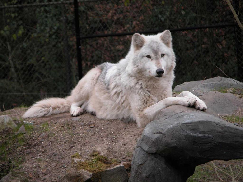 Gray Wolf 3 by Canislupuscorax