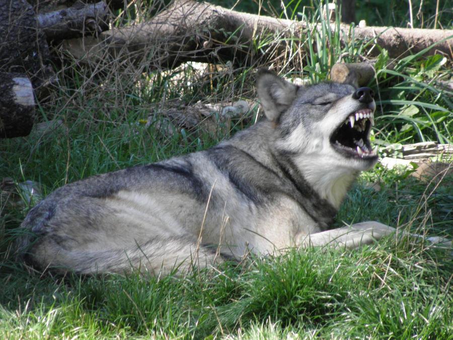 http://fc04.deviantart.net/fs51/i/2009/258/9/8/What_big_teeth_she_has_by_Canislupuscorax.jpg