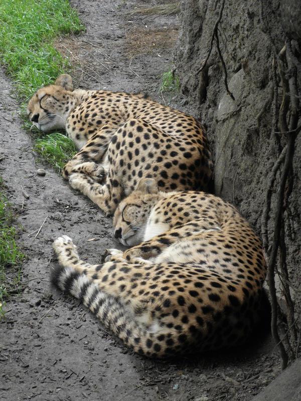 cheetah cubs sleeping