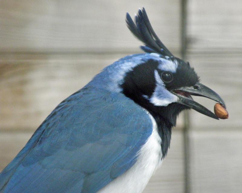 Nutty Magpie-jay by Canislupuscorax