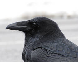 Starry Raven by Canislupuscorax