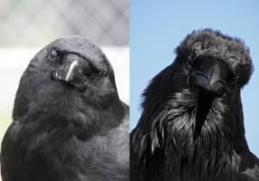 Corvus Cousins by Canislupuscorax