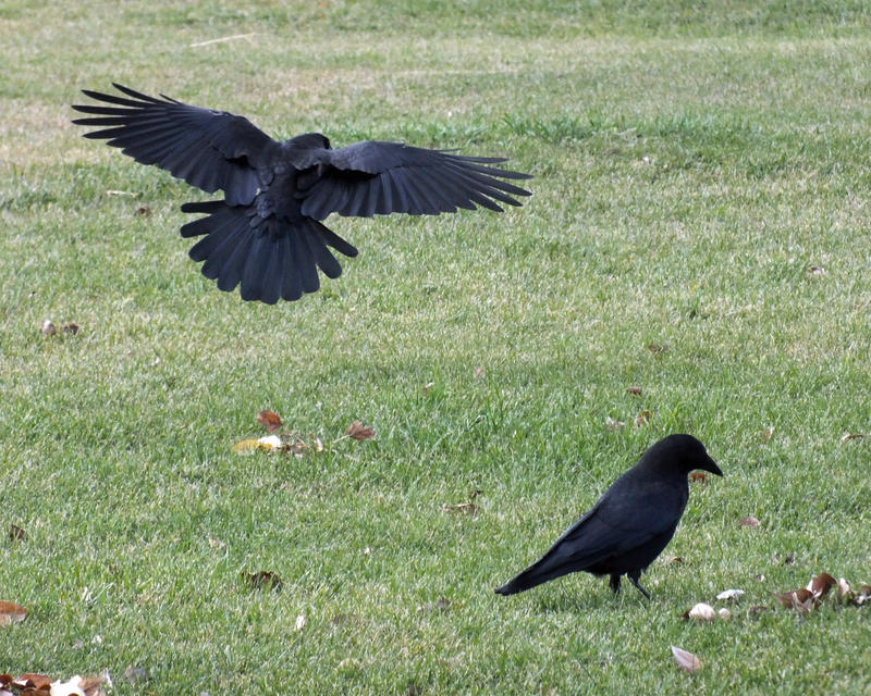 crows landing chatrooms Birds trying to get in my windows  upload your own photos, and gain access to our chat rooms  fluttering close as they could to the window, then landing.