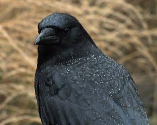 Rain Crow by Canislupuscorax