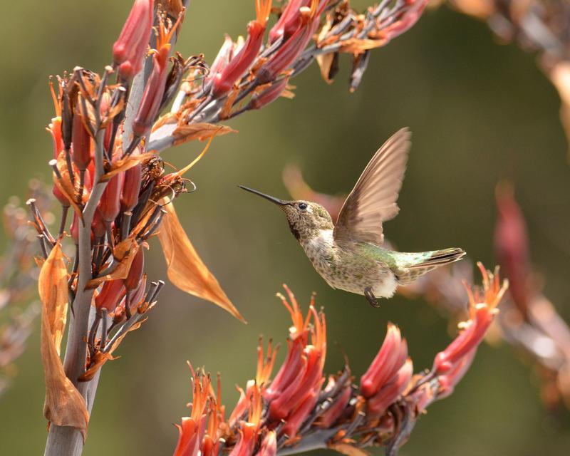 Hummingbird of Oakland by Canislupuscorax