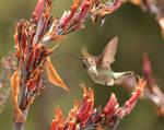 Hummingbird of Oakland