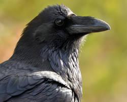 Considering Raven by Canislupuscorax