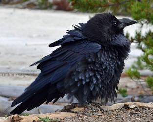 Roaring Mountain Poofbird by Canislupuscorax
