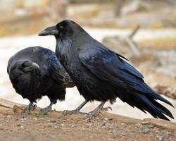 Roaring Mountain Raven Pair by Canislupuscorax