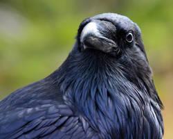 Roaring Mountain Raven Portrait by Canislupuscorax