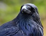 Roaring Mountain Raven Portrait