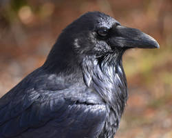 Roaring Mountain Raven by Canislupuscorax