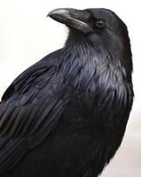 Again, Roaring Mountain Raven by Canislupuscorax