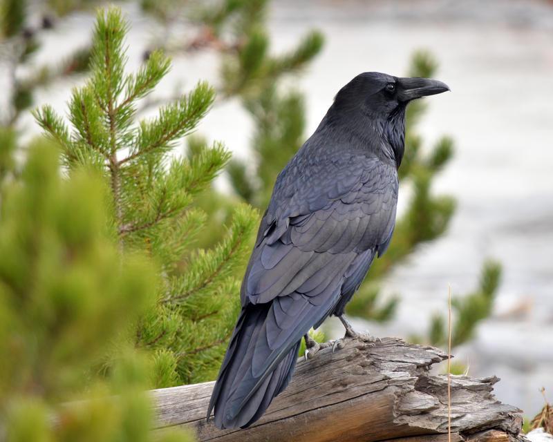 Still More Roaring Mountain Raven by Canislupuscorax