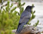 Still More Roaring Mountain Raven