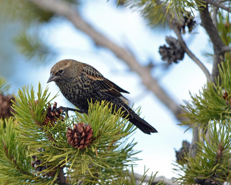 The Blackbird Pine by Canislupuscorax