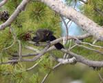 The Blackbird Pine II