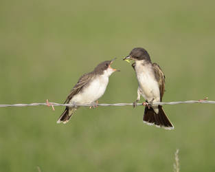 Kingbird Feeding by Canislupuscorax